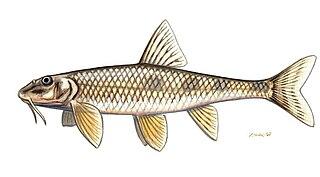 <i>Romanogobio uranoscopus</i> Species of fish