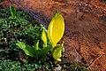 Rombergpark-100331-11461-Lysichiton-americanus.jpg