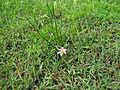 Romulea rosea plant1 (15302490131).jpg