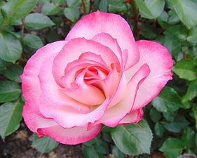 Rosa 'Cherry Parfait' 1.jpg