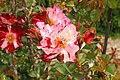 Rosa 'Fourth of July' 1.JPG