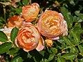 "Rosa ""Baby Romántica"" o MEIpaonia. 01.jpg"