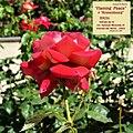 "Rosa ""Flaming Peace"", ""Kronenbourg"" o MACbo. 02.jpg"