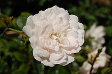 Rosa (botanica) - Wikipedia
