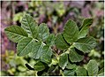Rosa glauca leaf (07).jpg