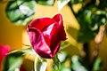Rose (9301050691).jpg