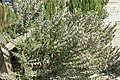 Rosmarinus officinalis Miss Jessups Upright 2zz.jpg