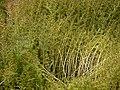Rotala ¿ species ? (8071133940).jpg