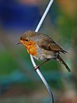 Rotkehlchen bird.jpg
