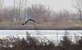 Rough-legged Hawk - CM (31399984053).jpg