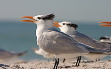 Several terns with black feathers emerging crownlike from the back of their heads stand on the beach, their orange bills open