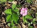 Rubus arcticus Oulu, Finland 29.05.2013.jpg