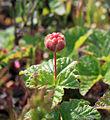 Rubus chamaemorus 001.jpg