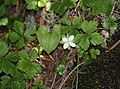 Rubus pedatus (Mount Ontake).JPG
