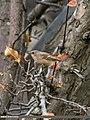 Rufous-backed Redstart (Phoenicurus erythronotus) (25096292073).jpg