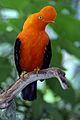 Rupicola peruviana (male) -San Diego Zoo-8.jpg