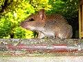 Safari park Rat.jpg