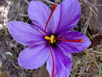Saffron - Saffron crocus, Crocus sativus, with its vivid crimson stigmas and styles