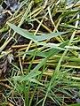 Sagittaria sagittifolia sl7.jpg