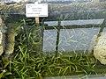 Sagittaria subulata - Copenhagen Botanical Garden - DSC07957.JPG