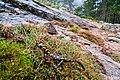 Salamandra corsica, near Evisa, Corse.jpg