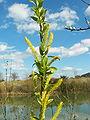 Salix alba 006.jpg