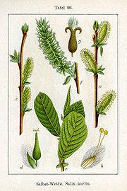 180px-Salix_aurita_Sturm26.jpg