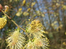 Salix cinerea flowers-2.jpg