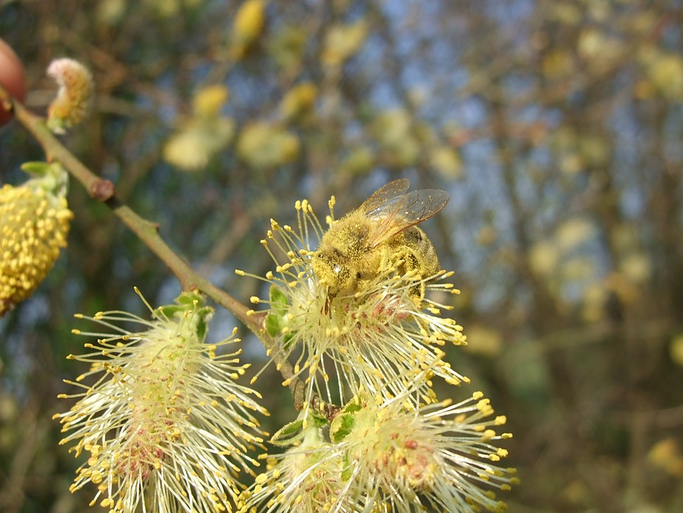 Salix cinerea flowers-2