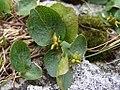 Salix herbacea a3.jpg