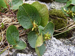 Salix herbacea - Leaves and seed capsules
