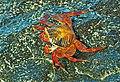 Sally Lightfoot Crab - Grapsus grapsus, Santa Cruz Island, Galapagos, Ecuador, July 7, 2021 (51317570456).jpg