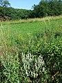 Salvia aethiopis sl13.jpg