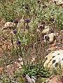 Salvia columbariae 6.jpg