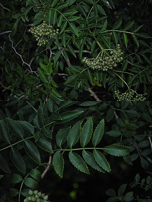 Sambucus australis - Leaves and fruits.