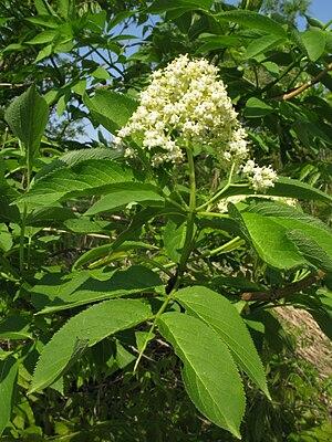 Sambucus sieboldiana - Shrub in flower
