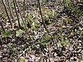 Sanguinaria canadensis 1-sphillips (5097943964).jpg