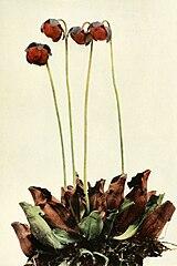 Sarracenia purpurea ssp. purpurea WFNY-083.jpg