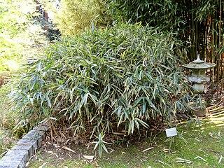 <i>Sasaella</i> genus of plants