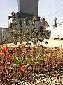 Satureja hortensis sl1.jpg