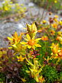 Saxifraga aizoides flowers.jpg