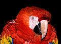Scarlet Macaw Happy (11889122394).jpg
