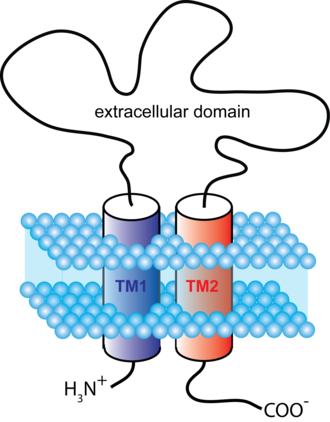 P2X purinoreceptor - Figure 1. Schematic representation showing the membrane topology of a typical P2X receptor subunit. First and second transmembrane domains are labeled TM1 and TM2.