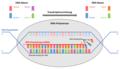 Schematischer Ablauf der DNA-Transkription.png