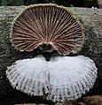 Schizophyllum commune (302871).jpg