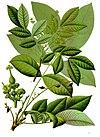 Schleichera oleosa - Köhler–s Medizinal-Pflanzen-261.jpg