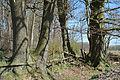 Schleswig-Holstein, Tornesch, Naturdenkmal 12-11 NIK 2207.JPG