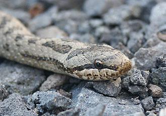 Smooth snake - Image: Schlingnatter