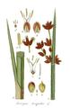 Scirpus triqueter L. - Deutschlands Flora vol. 9 - t. 3.png