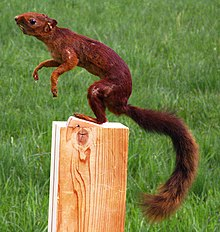 Southern Amazon Red Squirrel Wikipedia